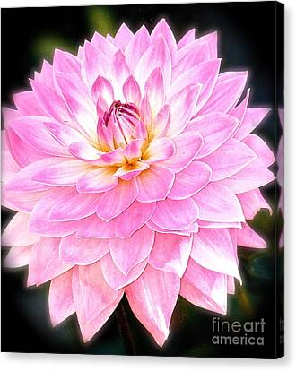 The Vivid Pink Dahlia Canvas Print by Margie Amberge
