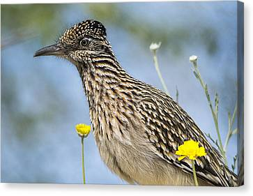 The Greater Roadrunner  Canvas Print by Saija  Lehtonen