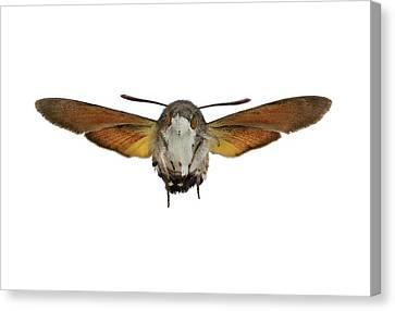 The Hummingbird Hawk-moth Canvas Print by F. Martinez Clavel