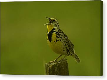 Meadowlark Canvas Print - The Meadowlark Sings by Jeff Swan