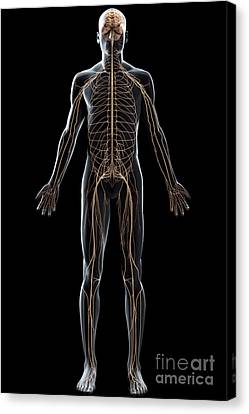 The Nerves Of The Body Canvas Print by Science Picture Co