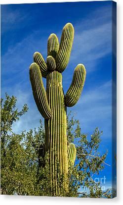 The  Saguaro  Canvas Print by Robert Bales