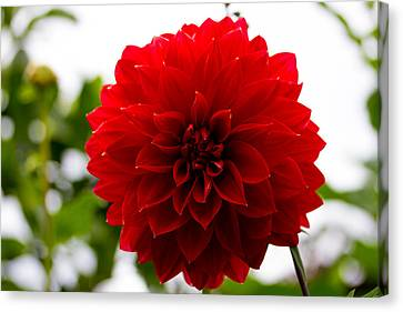 The Scarlet Flower Canvas Print by Kathleen Odenthal