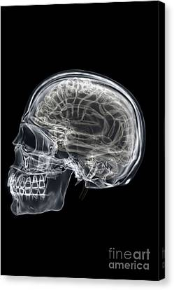 The Skull And Brain Canvas Print by Science Picture Co