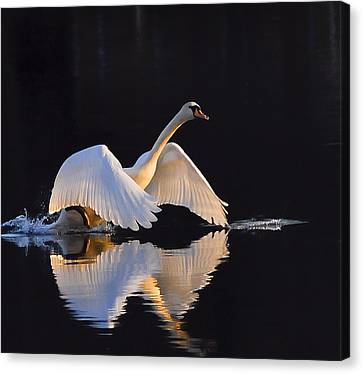 The Swan Of Zoar Canvas Print by Terry Cosgrave