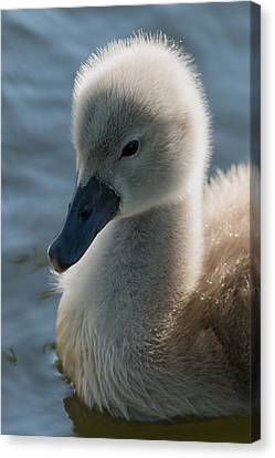 The Ugly Duckling Canvas Print by Michael Mogensen