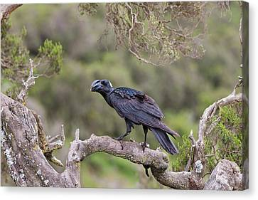 Thick-billed Raven (corvus Crassirostris Canvas Print