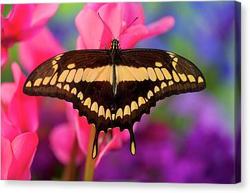 Thoas Swallowtail Butterfly, Papilio Canvas Print by Darrell Gulin