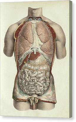 Thorax And Abdomen Canvas Print by Science Photo Library