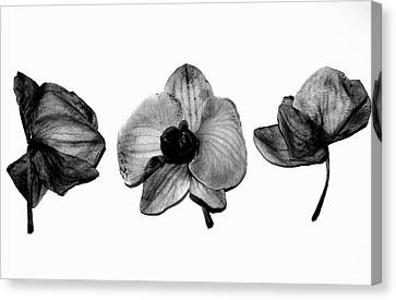 Three Beauties Canvas Print