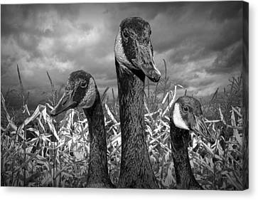 Three Canada Geese In An Autumn Cornfield Canvas Print by Randall Nyhof