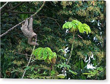 Three-toed Sloth (bradypus Variegatus Canvas Print by Andres Morya Hinojosa