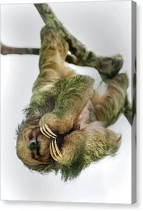 Three-toed Sloth Canvas Print - Three-toed Sloth, Sarapiqui, Costa Rica by Panoramic Images