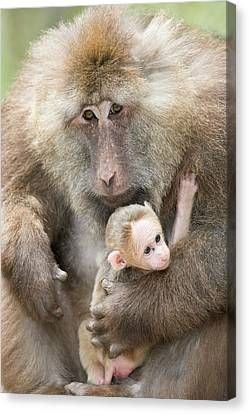 Tibetan Macaque Male Holding An Infant Canvas Print by Tony Camacho