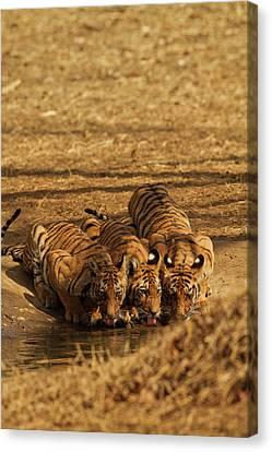 Tiger Cubs At The Waterhole, Tadoba Canvas Print