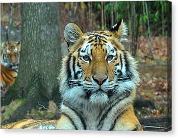 Tiger Bronx Zoo Canvas Print by Diane Lent