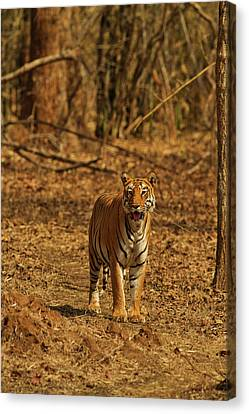 Tiger On The Move In Bamboo Forest Canvas Print