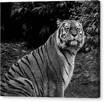 Tiger Portrait Canvas Print by Martin Newman