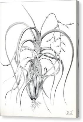 Tillandsia Flexuosa Canvas Print by Penrith Goff