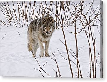 Canvas Print featuring the photograph Timber Wolf by Wolves Only