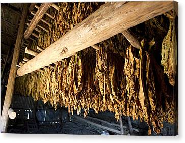 Nicotiana Tabacum Canvas Print - Tobacco Drying Room, Cuba by Science Photo Library