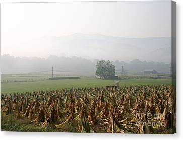 Tobacco In The Field Canvas Print