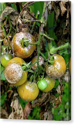 Tomatoes Infected With Late Blight Canvas Print by Dr Jeremy Burgess