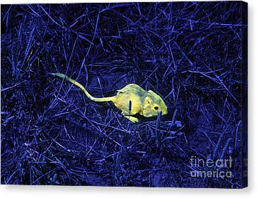 Tracking Kangaroo Rats With Fluorescence Canvas Print by James L. Amos
