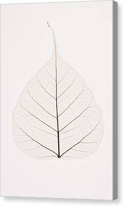 Transparent Leaf Canvas Print by Kelly Redinger