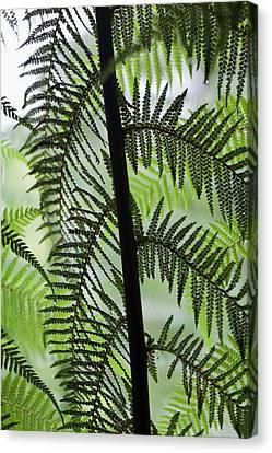 Tree Fern In Melba Gully, Great Otway Canvas Print by Martin Zwick