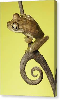 Tree Frog On Twig In Background Copyspace Canvas Print by Dirk Ercken