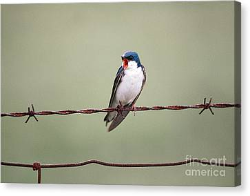 Tree Swallow Canvas Print by James L. Amos