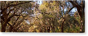 Trees Covered With Spanish Moss, Boone Canvas Print by Panoramic Images