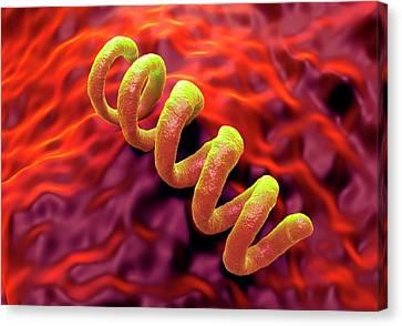 Treponema Pallidum Syphilis Bacterium Canvas Print by Science Artwork