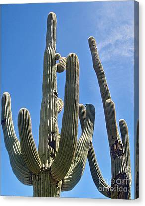Tucson Arizona Cactus Canvas Print by Gregory Dyer