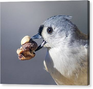 Canvas Print featuring the photograph Tufted Titmouse by David Lester