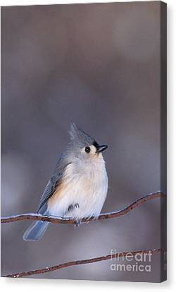 Titmouse Canvas Print - Tufted Titmouse by Larry West