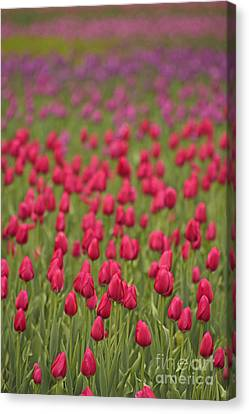 Tulip Beds Forever Canvas Print