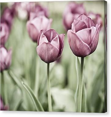 Heirlooms Canvas Print - Tulip Garden by Frank Tschakert