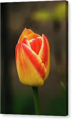 Perennial Canvas Print - Tulipa 'martinair' Flower by Adrian Thomas