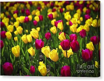 Tulips Canvas Print by Elena Elisseeva