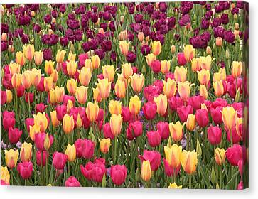Canvas Print featuring the photograph Tulips by Elizabeth Budd