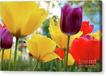 Tulips  Canvas Print by Mark Ashkenazi
