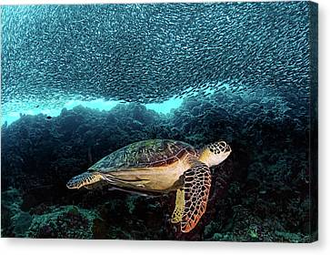 Swim Canvas Print - Turtle And Sardines by Henry Jager