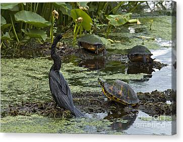 Turtles And Anhinga Canvas Print by Mark Newman