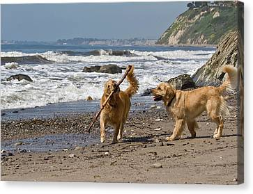 Two Golden Retrievers Playing Canvas Print by Zandria Muench Beraldo
