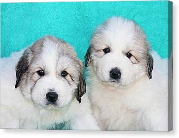 Two Great Pyrenees Puppies Sitting Canvas Print by Zandria Muench Beraldo