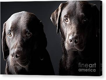 Two Handsome Chocolate Labradors Canvas Print