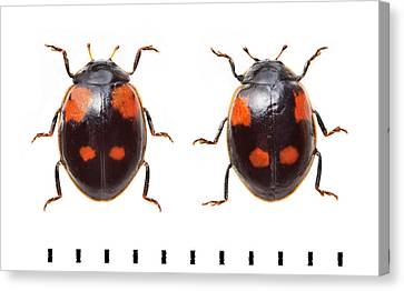 Two-spot Ladybird Canvas Print by Natural History Museum, London