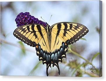 Two  Tailed Swallowtail Canvas Print by Kathy Gibbons